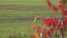 Colorful autumn leaves and agriculture winter crop field. Focus change. 4K stock video footage