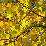 Colorful Autumn Leaves on American Tulip Poplar Tree Liriodendr Stock Photography