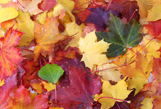 Colorful autumn leaves background. Royalty Free Stock Image