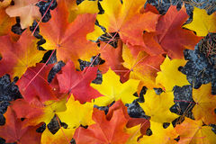 Colorful autumn leaves background Royalty Free Stock Photo