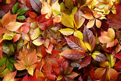 Colorful autumn leaves background. Top view of a colorful autumn leaves Stock Images