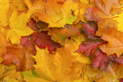 Colorful autumn leaves. For background Royalty Free Stock Photos