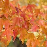Colorful autumn leaves background. Colorful autumn leaves blur background Stock Photography