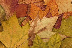 Colorful autumn leaves background Stock Images