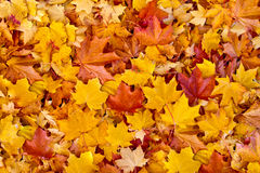 Colorful autumn leaves background. Collection of dead leaves during autumn Stock Photos