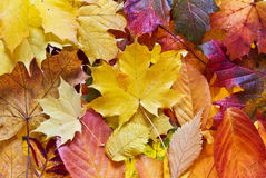 Colorful autumn leaves background. Pile of colorful autumn leaves Royalty Free Stock Image