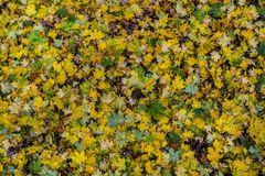 Colorful autumn leaves background . Royalty Free Stock Photography