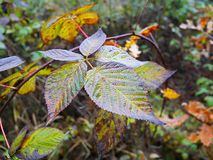 Colorful autumn leaves. Beautiful autumn leaves Stock Photography