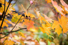 Colorful autumn leaves. Beautiful yellow and red maple leaves on a fall day Stock Photo