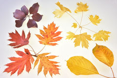 Colorful autumn leaves. Beauty and colors of the leaves of autumn Stock Photography