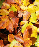Colorful autumn beech leaves. Beech leaves, beautiful autumn colors stock photos