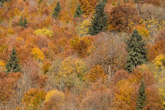 Colorful autumn leaves in black forest, Germany Stock Image