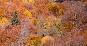 Colorful autumn leaves in black forest, Germany Royalty Free Stock Image