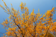 Colorful Autumn Leaves and blue sky. Royalty Free Stock Image