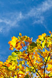 Colorful autumn leaves and blue sky with clouds in background. Colorful autumn leaves on tree brances Stock Photography