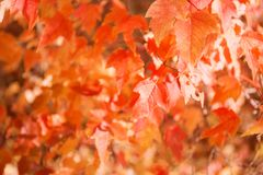 Colorful autumn leaves background. Colorful autumn leaves blur background Royalty Free Stock Photo
