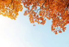 Colorful autumn leaves on branches of oak tree Stock Photos