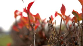 Colorful autumn leaves stock video
