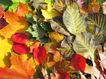 Colorful autumn leaves. Can use as background. Lithuania Stock Image