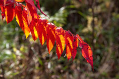 Colorful autumn leaves, Canada. Fall forest with colorful autumn leaves Stock Images