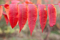 Colorful autumn leaves, Canada Stock Photography