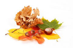 Colorful autumn leaves chestnuts and acorn Royalty Free Stock Image