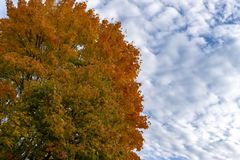 Colorful autumn leaves on a copse of tree. Under a sunny blue sky with clouds marking the changing seasons stock photos
