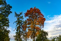 Colorful autumn leaves on a copse of trees. Colorful autumn leaves on a copse of assorted trees in rural woodland under a sunny blue sky with clouds marking the stock photography
