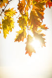 Colorful autumn leaves. Colorful autumn or fall leaves with bright sunlight Stock Photos