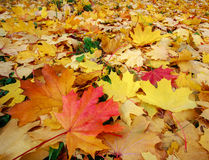 Colorful autumn leaves fallen from the trees Royalty Free Stock Photo