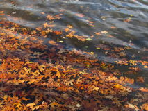 Colorful Autumn Leaves Floating on Lake Water Stock Photo