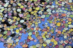 Free Colorful Autumn Leaves Floating On The Water Royalty Free Stock Photography - 66137807