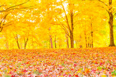 Colorful autumn leaves with forest blurred background. Stock Images
