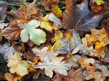 Colorful autumn leaves, Lithuania Royalty Free Stock Photo