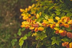Colorful autumn leaves. Colorful autumn golden leaves shining in the woods stock photos