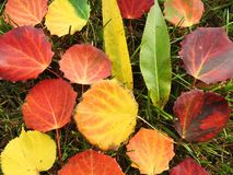 Colorful autumn leaves on grass, Lithuania Stock Image