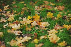 Colorful autumn leaves on a green grass. Colorful yellow autumn leaves on a green grass Royalty Free Stock Images