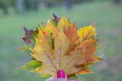 Colorful autumn leaves in hand. For websites and presentations, for prints stock photos