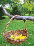 Autumn leaves in basket in garden, Lithuania Stock Image