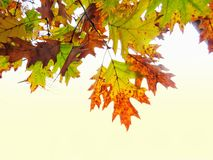 Colorful Autumn Leaves Hanging Over A White Background stock image