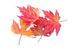 Colorful autumn leaves isolated on white Royalty Free Stock Image