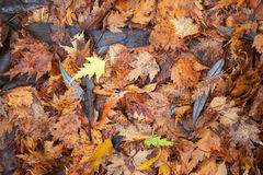Colorful autumn leaves lay on the ground Royalty Free Stock Image