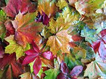 Colorful autumn leaves, Lithuania Royalty Free Stock Images
