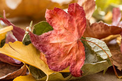 Colorful Autumn Leaves Macro Royalty Free Stock Photo