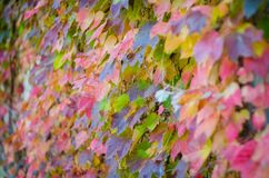 Colorful autumn leaves. Many colors Stock Photography