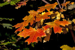 Colorful Autumn Leaves on a Maple tree Stock Photography