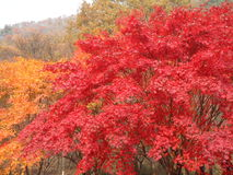Colorful Autumn Leaves of Maple Trees in the National Park, South Korea Royalty Free Stock Photo