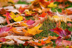 Colorful autumn leaves nature background. Shallow depth of field Royalty Free Stock Photo