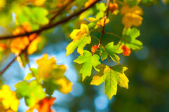 Colorful autumn leaves in the park Royalty Free Stock Photography