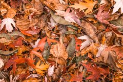 Orange colorful autumn leaves in pile during fall season. Colorful autumn leaves in pile during fall season royalty free stock image